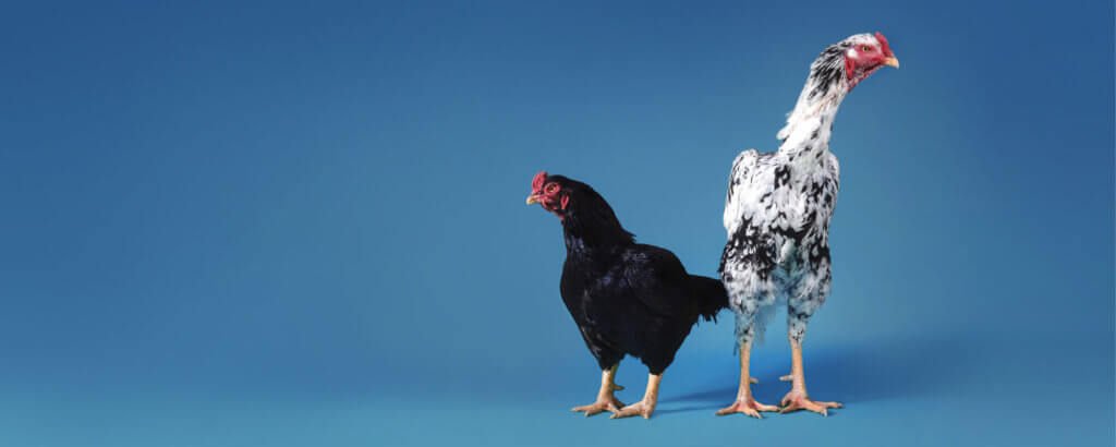 WHAT CAME FIRST; THE CHICKEN, THE EGG, OR THE POLITICAL OPPRESSION OF THE FEATHERED CLASS?